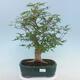 Pinus parviflora - Small-flowered Pine VB2020-121 - 1/3