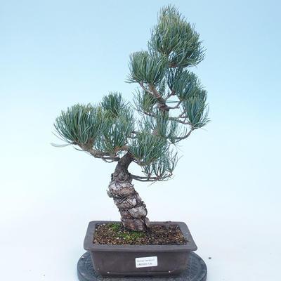 Pinus parviflora - Small-flowered Pine VB2020-135 - 1