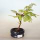 Outdoor bonsai - Metasequoia glyptostroboides - Chinese Metasequoia - 1/2