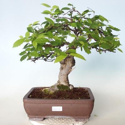 Outdoor bonsai - Zelkova - 1
