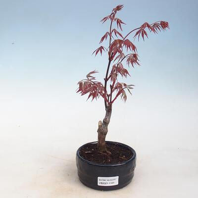 Outdoor bonsai - Acer palm. Atropurpureum-Maple