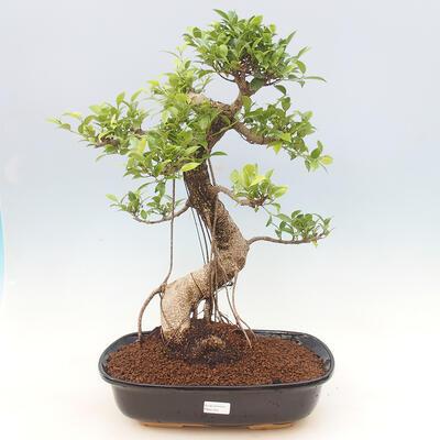 Indoor bonsai - Ficus kimmen - small-leaved ficus - 1