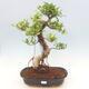 Indoor bonsai - Ficus kimmen - small-leaved ficus - 1/2