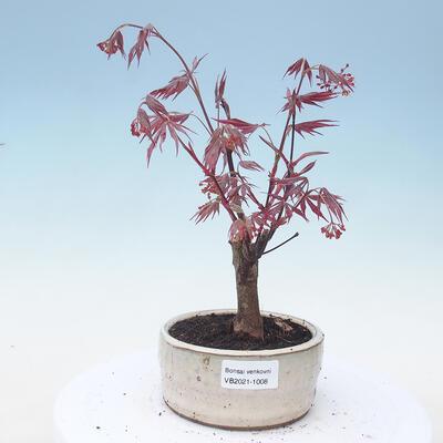 Outdoor bonsai - Acer palm. Atropurpureum-Red palm leaf - 1