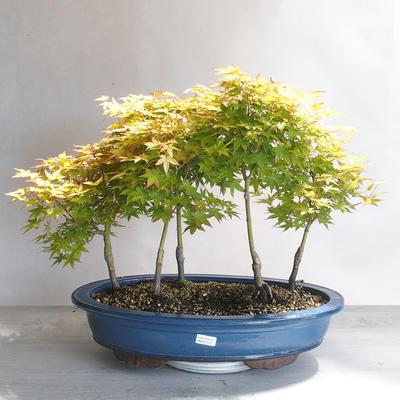 Acer palmatum Aureum - Golden Palm Maple - 1