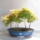 Acer palmatum Aureum - Golden Palm Maple - 1/3