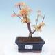 Outdoor bonsai - Acer pal. Sango Kaku - Palm Maple - 1/3