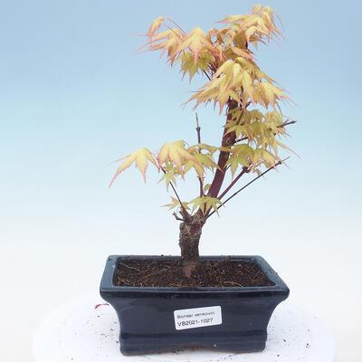 Outdoor bonsai - Acer pal. Sango Kaku - Palm Maple - 1