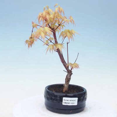 Outdoor bonsai - Acer pal. Sango Kaku - Palm Maple - 1
