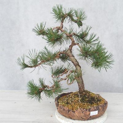 Outdoor bonsai - Pinus Mugo - Kneeling Pine - 1