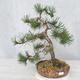 Outdoor bonsai - Pinus Mugo - Kneeling Pine - 1/4