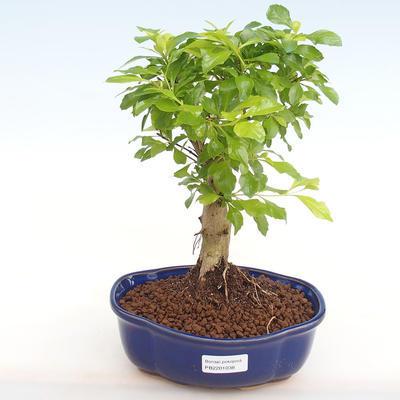 Indoor bonsai - Duranta erecta Aurea PB2201038 - 1