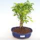 Indoor bonsai - Duranta erecta Aurea PB2201038 - 1/3