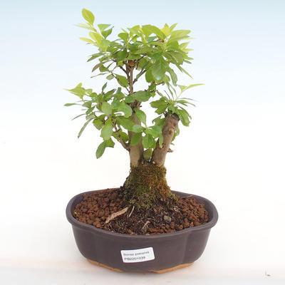 Indoor bonsai - Duranta erecta Aurea PB2201039 - 1