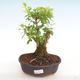 Indoor bonsai - Duranta erecta Aurea PB2201039 - 1/3