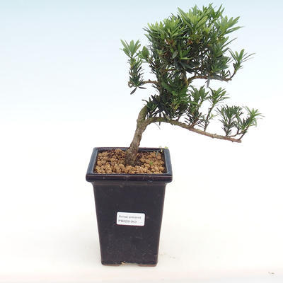Indoor bonsai - Podocarpus - Stone yew PB2201043