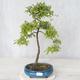 Outdoor bonsai - Prunus spinosa - Blackthorn - 1/2