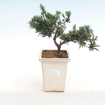 Indoor bonsai - Podocarpus - Stone yew PB2201044