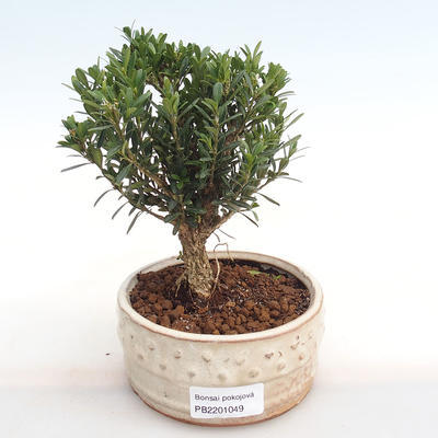 Indoor bonsai - Buxus harlandii - cork buxus PB2201049 - 1