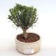 Indoor bonsai - Buxus harlandii - cork buxus PB2201049 - 1/4