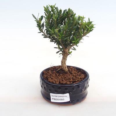 Indoor bonsai - Buxus harlandii - cork buxus PB2201050 - 1