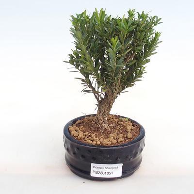 Indoor bonsai - Buxus harlandii - cork buxus PB2201051 - 1