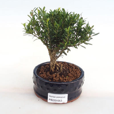 Indoor bonsai - Buxus harlandii - cork buxus PB2201053 - 1