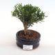 Indoor bonsai - Buxus harlandii - cork buxus PB2201053 - 1/4