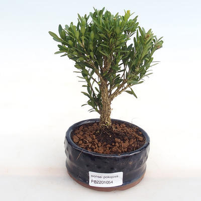 Indoor bonsai - Buxus harlandii - cork buxus PB2201054 - 1
