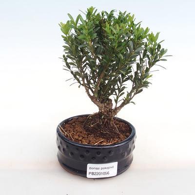 Indoor bonsai - Buxus harlandii - cork buxus PB2201056 - 1