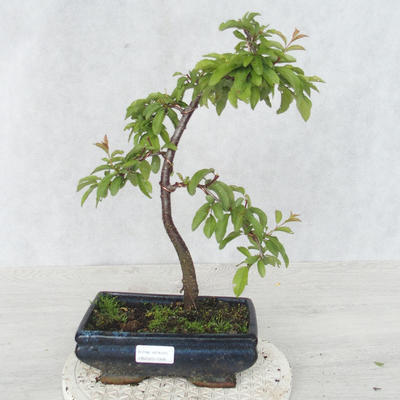 Outdoor bonsai - Prunus spinosa - Blackthorn - 1