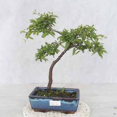 Outdoor bonsai - Prunus spinosa - Blackthorn - 1