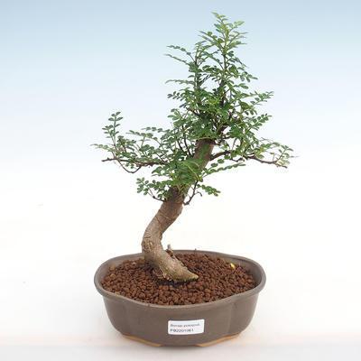 Indoor bonsai - Zantoxylum piperitum - Pepper PB2201061 - 1