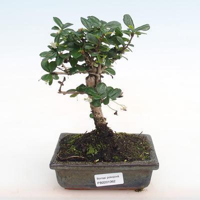 Indoor bonsai - Carmona macrophylla - Fuki tea PB2201062 - 1