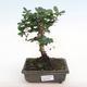 Indoor bonsai - Carmona macrophylla - Fuki tea PB2201062 - 1/5