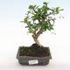 Indoor bonsai - Carmona macrophylla - Fuki tea PB2201066 - 1/5