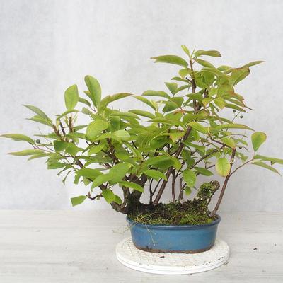 Outdoor bonsai - bird cherry - Prunus padus - 1