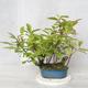 Outdoor bonsai - bird cherry - Prunus padus - 1/3