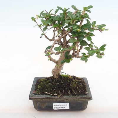 Indoor bonsai - Carmona macrophylla - Fuki tea PB2201069 - 1