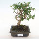 Indoor bonsai - Carmona macrophylla - Fuki tea PB2201069 - 1/5