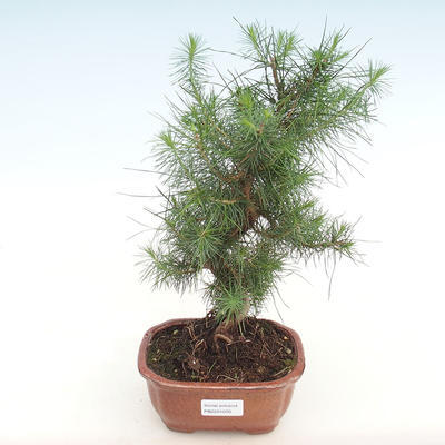 Indoor bonsai-Pinus halepensis-Aleppo pine PB2201070