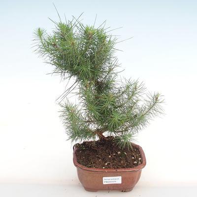 Indoor bonsai-Pinus halepensis-Aleppo pine PB2201074