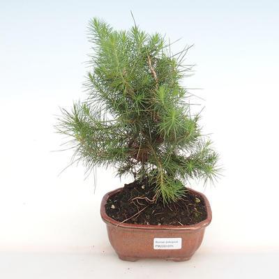 Indoor bonsai-Pinus halepensis-Aleppo pine PB2201075