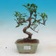 Room bonsai - Ficus kimmen - little ficus - 1/2
