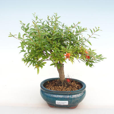 Indoor bonsai-PUNICA granatum nana-Pomegranate PB2201082 - 1