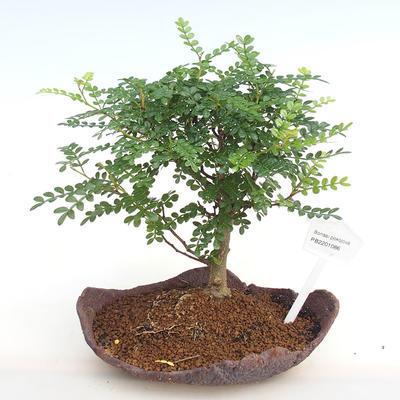 Indoor bonsai - Zantoxylum piperitum - Pepper PB2201086 - 1