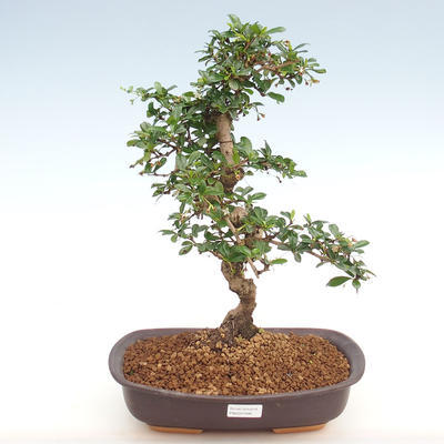 Indoor bonsai - Carmona macrophylla - Fuki tea PB2201090 - 1