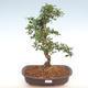 Indoor bonsai - Carmona macrophylla - Fuki tea PB2201090 - 1/5