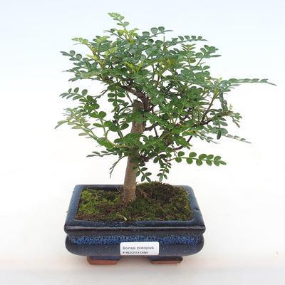 Indoor bonsai - Zantoxylum piperitum - Pepper PB2201098 - 1
