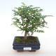 Indoor bonsai - Zantoxylum piperitum - Pepper PB2201098 - 1/4